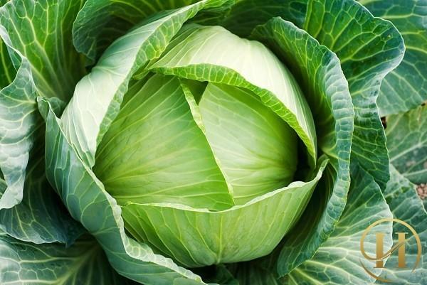 Bí quyết căng da mặt siêu rẻ bằng bắp cải